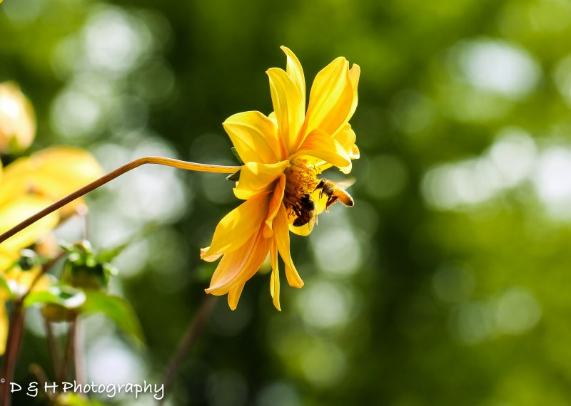 Yellow flower with Bee