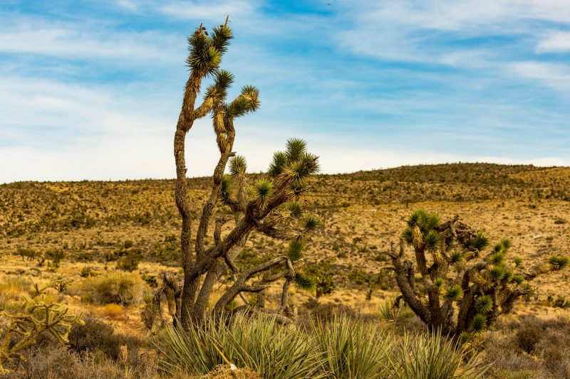 Joshua Tree in Nevada USA