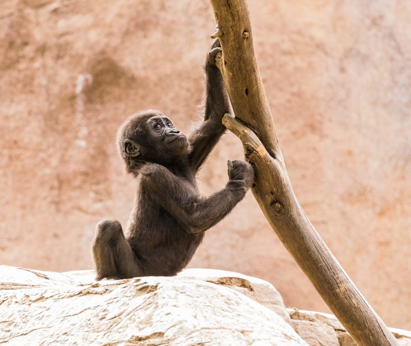 Baby Gorilla at San Diego