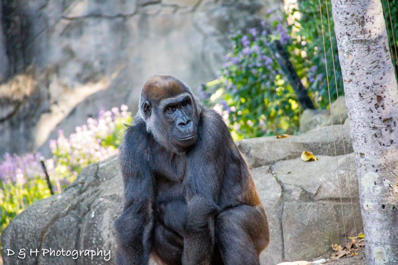 Gorilla at Taronga Zoo Sydney