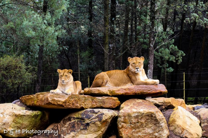 Lionesses at Dubbo Zoo