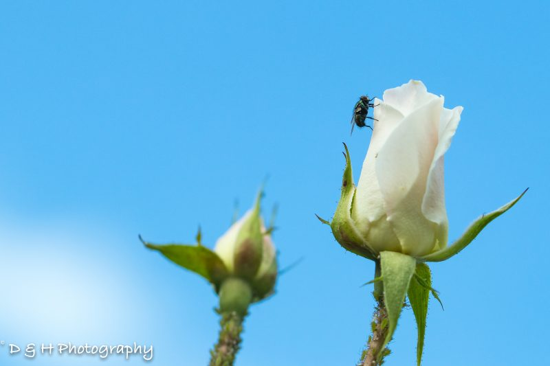Macro Fly on a White Rose