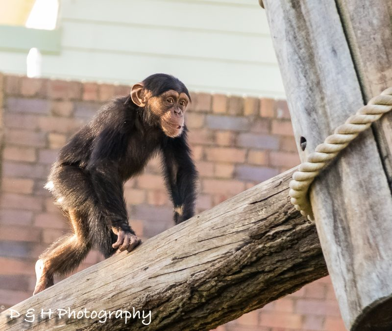 Chimpanzee at Taronga Zoo Sydney